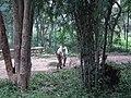 White Tiger from Bannerghatta National Park 8505.JPG