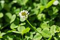 White clover (25656111165).jpg