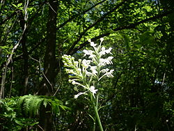 White fringed orchid.jpg