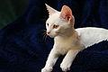 White kitten 2.jpg