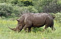 White rhinoceros or square-lipped rhinoceros, Ceratotherium simum. Note that in some of these photos there are a female with a calf, and a male that seems to have been challenging the calf. (16717369024).jpg
