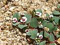 Whitemargin Sandmat (Chamaesyce albomarginata); Covington Flats.jpg