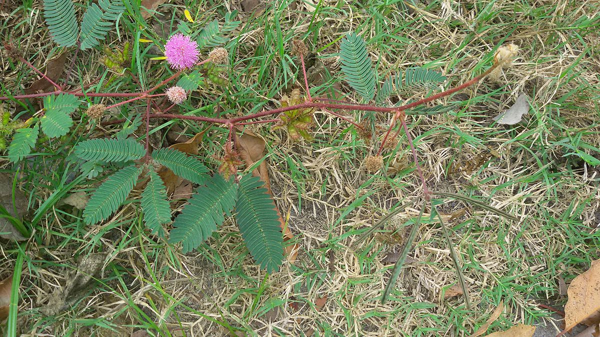 Whole plant Mimosa pudica.jpg