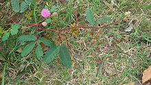 Mimosa pudica - Wikipedia