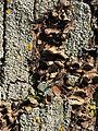 Wien-Penzing - Naturdenkmal 199 - Baumhasel (Corylus colurna) beim Europahaus - von Flechten und Pilzen befallen.jpg