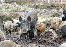 mixed sounder of wild boar and domestic pigs at culzie scotland