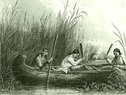 Traditional wild rice harvesting continues into the present day as a living tradition. Wild rice harvesting 19th century.jpg