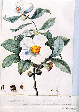Bartram's Garden - Franklinia alatamaha illustration by William Bartram