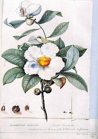 William Bartram - Franklinia alatamaha by William Bartram (1782)