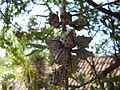 Willow-leaved Hakea nut (3392736149).jpg