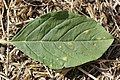 Wilsoniana sp. on Red-root Amaranth - Amaranthus retroflexus (29863431887).jpg