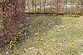 Winterlinge entlang einer hecke lebenswertes chemnitz.JPG