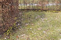 Winterlinge entlang einer hecke lebenswertes chemnitz