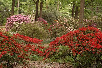John J. Tyler Arboretum - Image: Wister Rhododendron Collection 3000px