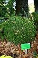 Wojsławice, arboretum, Buxus microphylla.jpg