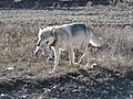 Wolf with dinner (6923936041).jpg
