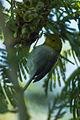 Yellow-headed Warbler - Cuba S4E9814 (22445758133).jpg