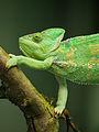 Yemen Chameleon (10512161245).jpg