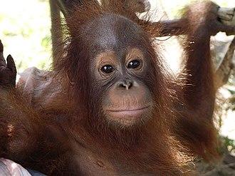 International Animal Rescue - Image: Young orangutan rescue