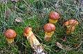 Young Suillus grevillei (Larch Bolete, D= Goldröhrling Syn. Goldgelber Lärchenröhrling, F= Bolet élégant, NL= Gele ringboleet), at Hoge Veluwe National Park - panoramio.jpg