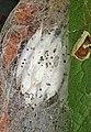 Yponomeuta malinellus cocoons, Dolydd Hafren, North Wales, Aug 2014 (20767149010).jpg