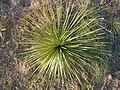 Yucca glauca (5241688445).jpg