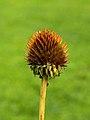 Zaaddoos Echinacea purpurea (zonnehoed) 01.JPG