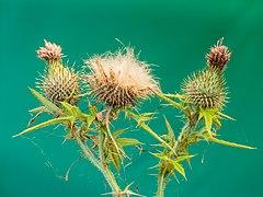 Zaaddozen van een speerdistel (Cirsium vulgare) in verval. 06-08-2020 (d.j.b.) 01.jpg