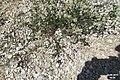 Zakynthos flora (35061008334).jpg