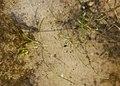 Zannichellia palustris kz01.jpg