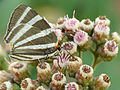Zebra-striped Hairstreak (16470655458).jpg