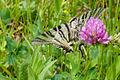 Zebra butterfly (6271897830).jpg