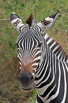http://upload.wikimedia.org/wikipedia/commons/thumb/3/3f/Zebra_portrait.jpg/220px-Zebra_portrait.jpg
