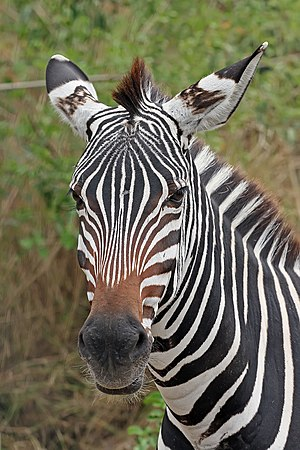 English: Portrait of a Plains zebra Equus quag...