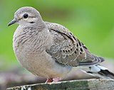 Greyish-brown dove standing against a green background