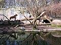 Zoo løver - panoramio.jpg
