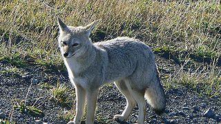 South American gray fox species of mammal