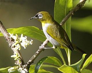 <i>Zosterops</i> genus of birds