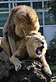 Zwei junge maennliche Loewen Panthera leo Tierpark Hellabrunn-3.jpg