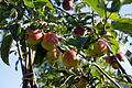 'Malus Rajka' apples Capel Manor College Gardens Enfield London England.jpg