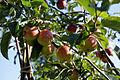 'Malus Rajka' apples Capel Manor College Gardens Enfield London England.jpg