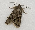 (2243) Early Grey (Xylocampa areola) (5551069039).jpg