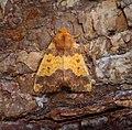(2272) Barred Sallow (Tiliacea aurago) (36218084783).jpg