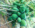 (carica papaya) immature fruits, Rajula Tallavalasa.jpg