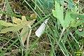 ? Satin grass-veneer (NH) (10703554244).jpg