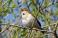Śpiewający ptak nad Wisłą w Piekarach pod Krakowem, 20210504 0801 6483.jpg