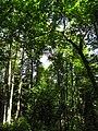 Šuma Acer heldreichii IMG 6868^.jpg