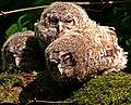 Šumska sova (Strix aluco), mladunci; Tawny Owl chicks.jpg