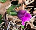 Ветреница павлинья - Anemone hortensis var. pavonina - Broad Leaved Anemone - Червена съсънка (Павонска съсънка) - Stern-Anemone (32678234404).jpg