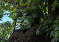 Вікове дерево клена-явора 10.JPG
